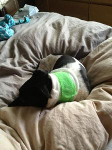 Jemima the patient. She made an excellent recovery and appeared to enjoy her pain relief.